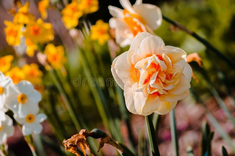 Garofano giallo in fioritura in un letto di fiore a Frederik Meijer Gardens a Grand Rapids Michigan fotografia stock libera da diritti