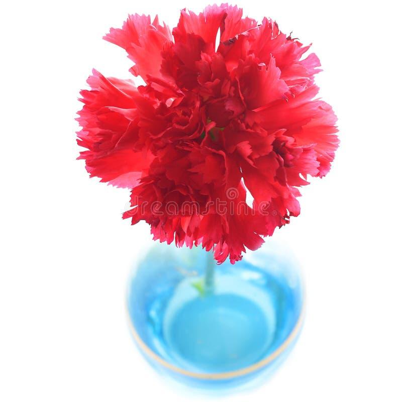 Garofano rosso in vaso blu fotografia stock libera da diritti