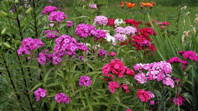 Garofano turco di fioritura, colori della miscela fotografia stock libera da diritti