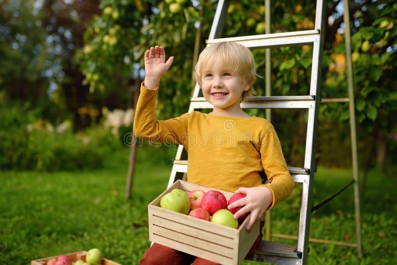 Garotinho colhendo maçãs em pomar Criança segura caixa de madeira com colheita fotografia de stock