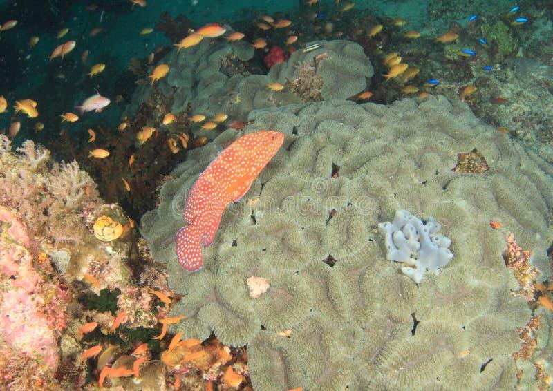 Download Garoupa coral imagem de stock. Imagem de nadada, mergulho - 65576831
