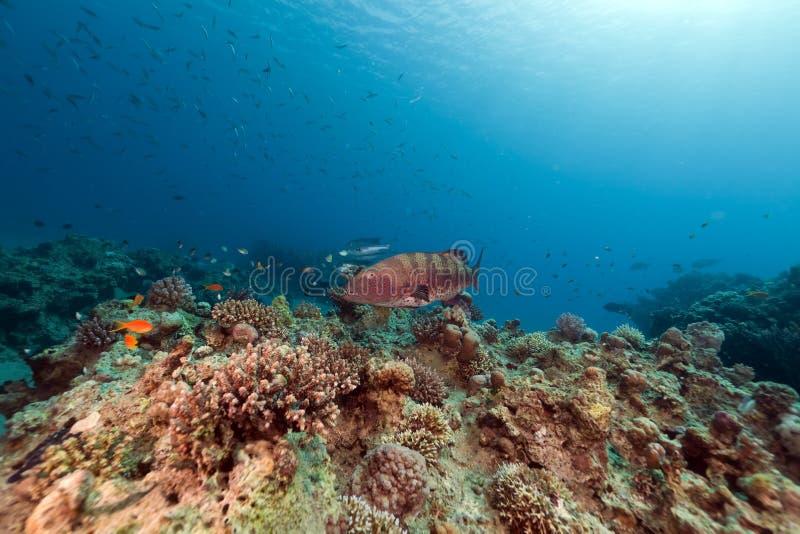 Garoupa coral e recife tropical no Mar Vermelho. fotos de stock
