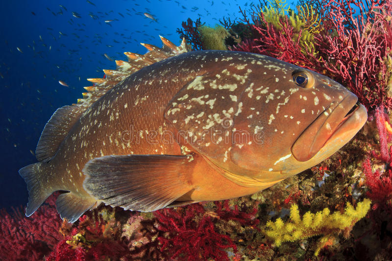 Garoupa das ilhas de Medes imagens de stock royalty free