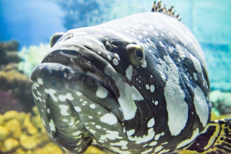 Garoupa gigante do grouperpanther da corcunda da garoupa foto de stock