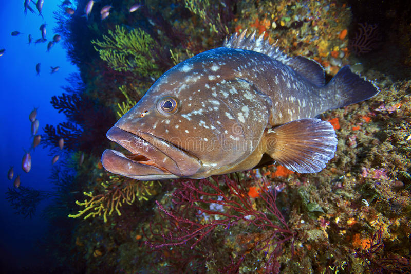 Garoupa grande de ilhas de Medes imagens de stock royalty free