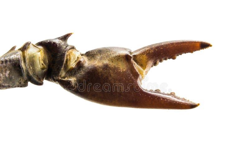 Garra del cangrejo en el fondo blanco fotografía de archivo libre de regalías