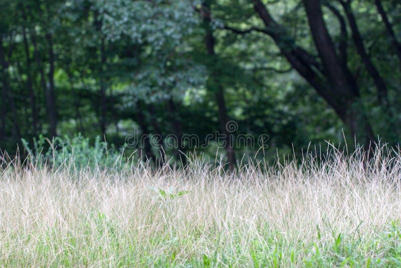 Download Garranchuelo Meridional También Conocido Como Ciliaris Del Digitaria Imagen de archivo - Imagen de marrón, parque: 64207015