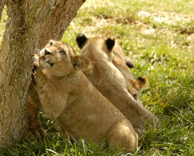 Garras de Cub de leão fotografia de stock