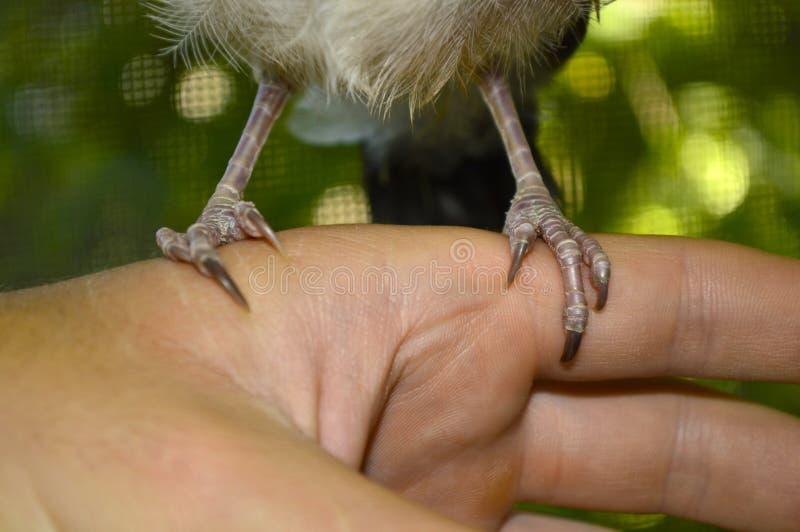 Garras de um pássaro que guarda suas mãos fotos de stock royalty free