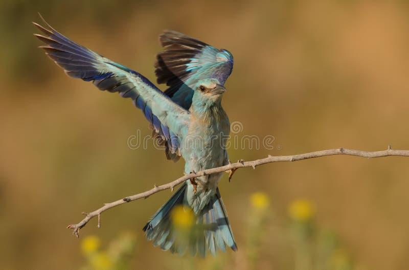 Garrulus del Coracias fotografia stock libera da diritti