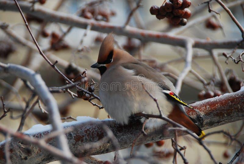 Garrulus di Bombycilla dei waxwings di Оrdinary La Russia fotografia stock