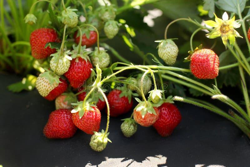 Garten-Bett von Erdbeeren schmiegte sich schwarzes Material an stockbilder
