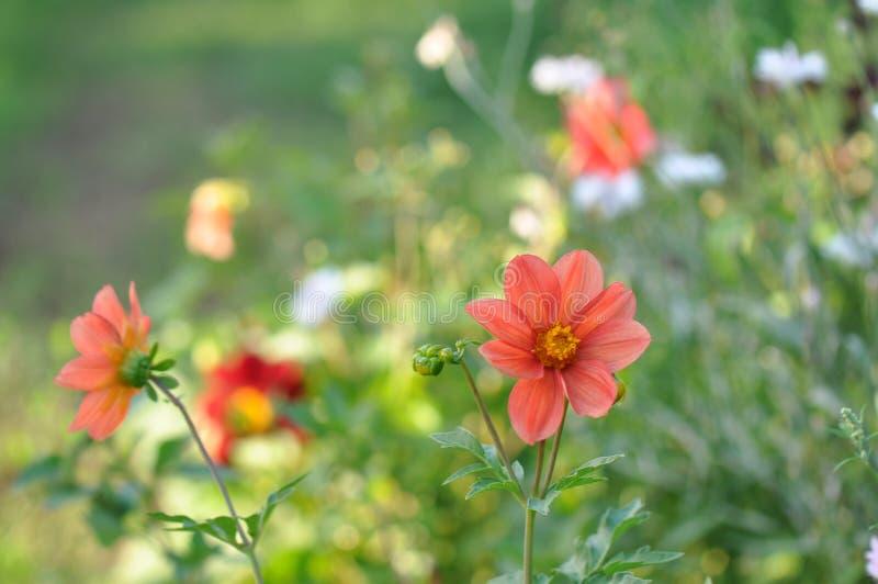 Garten-Dahlie stockfoto