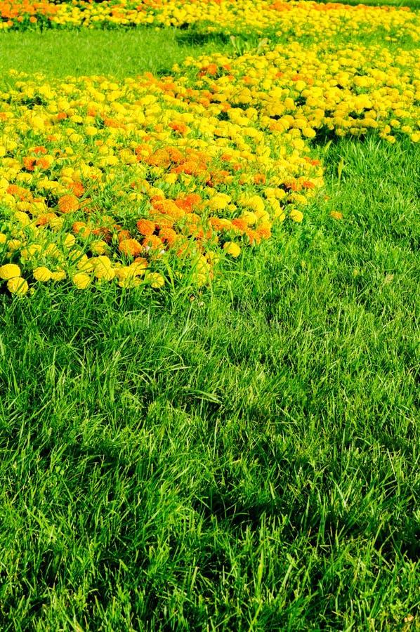Garten der Ringelblume Calendula-Vertikale stockbilder