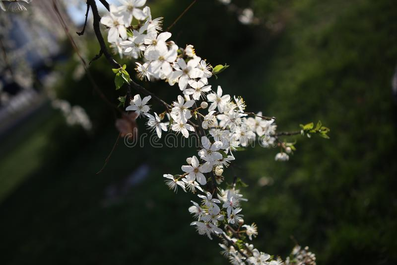 Garten der weißen Blumen des Niederlassungskirschblüten-Frühlinges lizenzfreies stockfoto