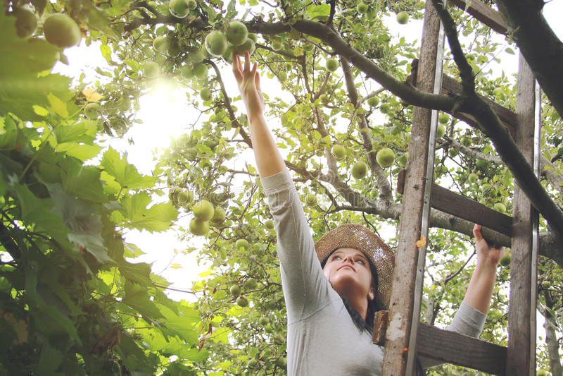 Garten-Frau hebt Äpfel auf Leiter auf lizenzfreie stockbilder