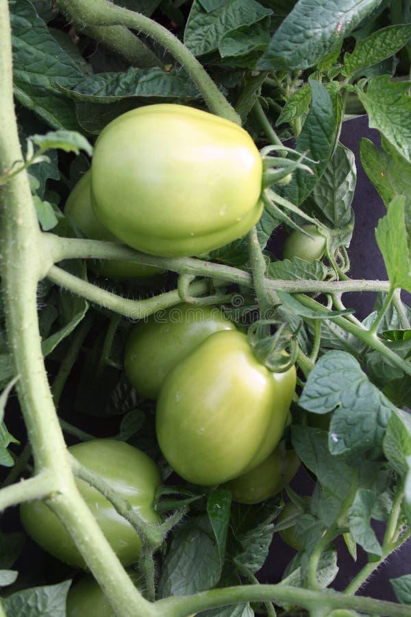 Garten-frische Tomate lizenzfreie stockfotografie