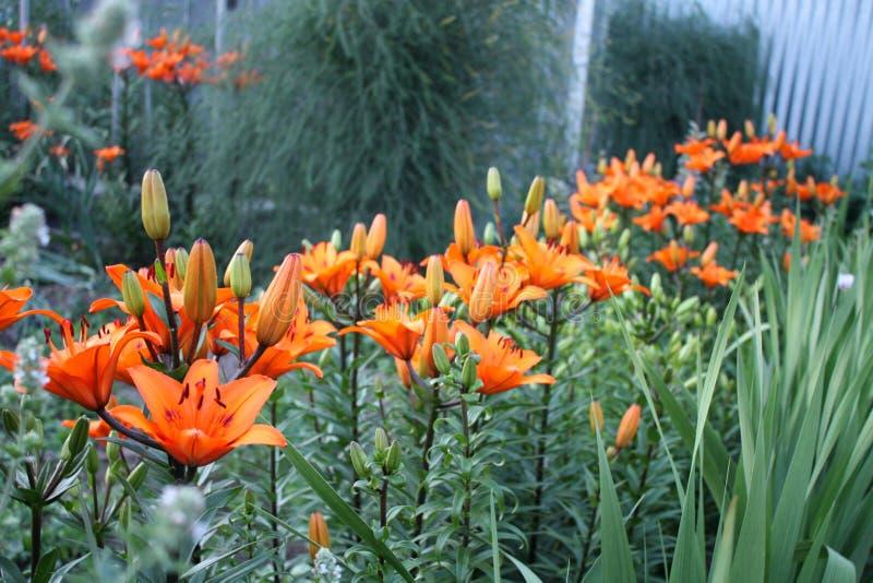 Garten Gartenlandschaft Schöne Felder des Pfingstrosengartens von Ranunculus gewachsen im Süden Blühen von Lilien lizenzfreie stockbilder