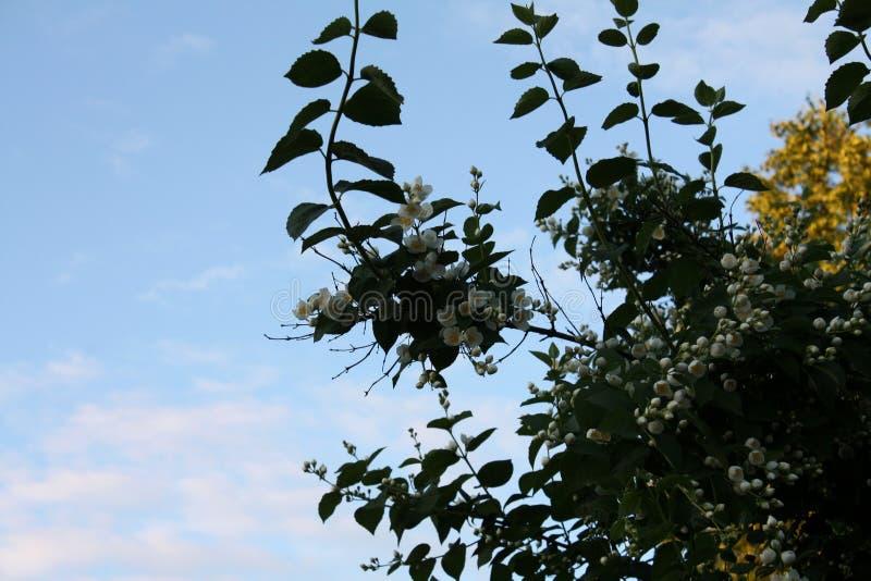 Garten Gartenlandschaft Schöne Felder des Pfingstrosengartens von Ranunculus gewachsen im Süden Jasmin stockfotografie