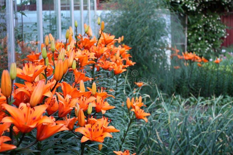 Garten Gartenlandschaft Schöne Felder des Pfingstrosengartens von Ranunculus gewachsen im Süden lilien lizenzfreies stockfoto