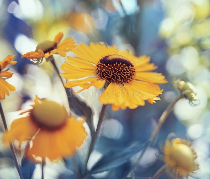 Garten gelben Blumennahaufnahme blauen bokeh Hintergrundes im Freien stockfoto