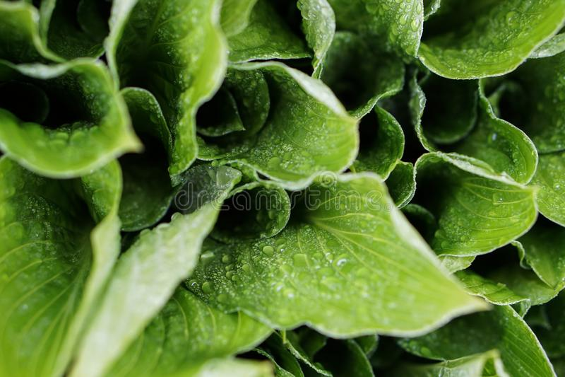 Garten lässt grünes Laub mit Regenwassertropfen Nat?rlicher Blumenhintergrund stockbilder