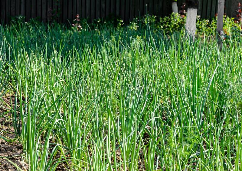 Garten mit Frühlingszwiebelreihen, Frühlingszeit lizenzfreies stockbild