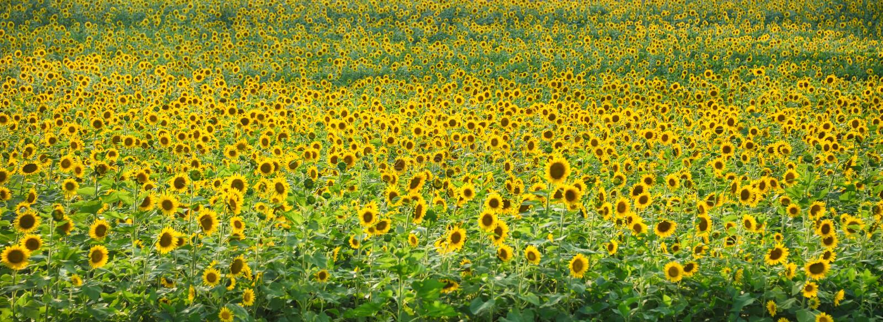 Garten-Reihe 'Sun Flower Power 'Americana durch Zen Duder Studios stockbild