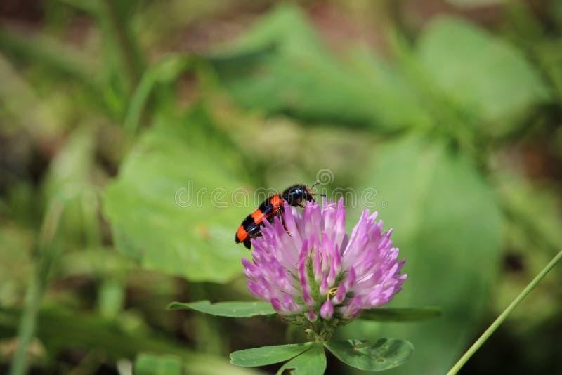 Garten schwarz und roter Wanzenaaskäfer, der auf einer Rotkleeblüte sitzt stockfoto