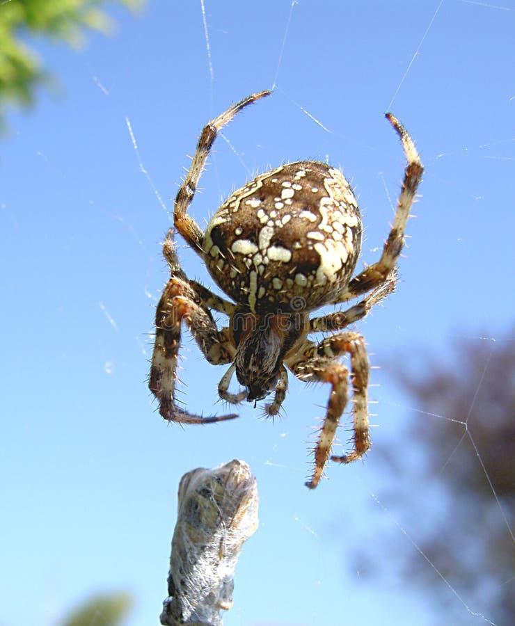 Garten-Spinne lizenzfreie stockfotos