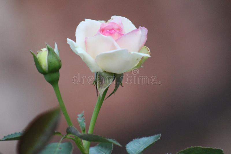 Garten stieg in rosa Farbe im Sommer im Garten in Symbol Petrich Bulgarien lizenzfreies stockbild
