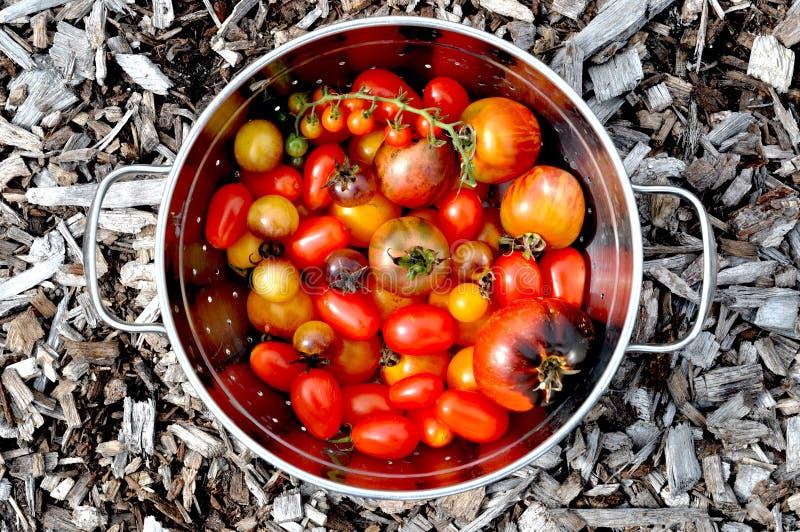 Garten-Tomaten lizenzfreie stockfotografie
