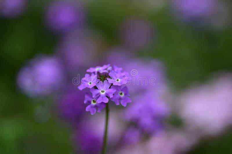 Garten-Verbene blüht Nahaufnahme stockbild