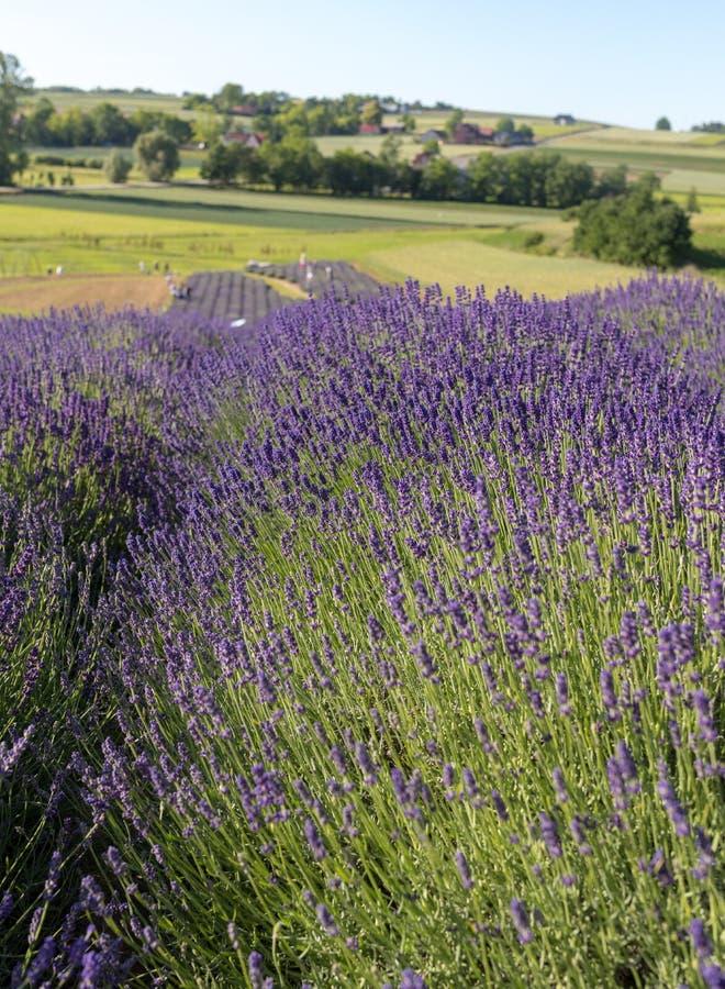Garten voll des Lavendels stockfotografie