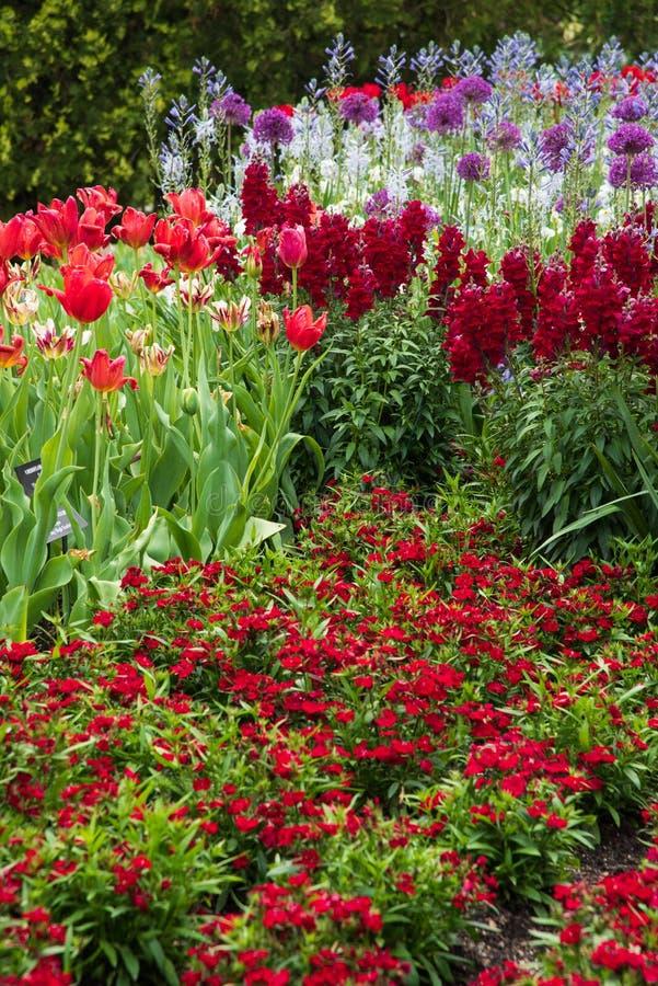 Garten voll von roten Blumen mit Tulpen, Löwenmaul und plumarius stockfotos