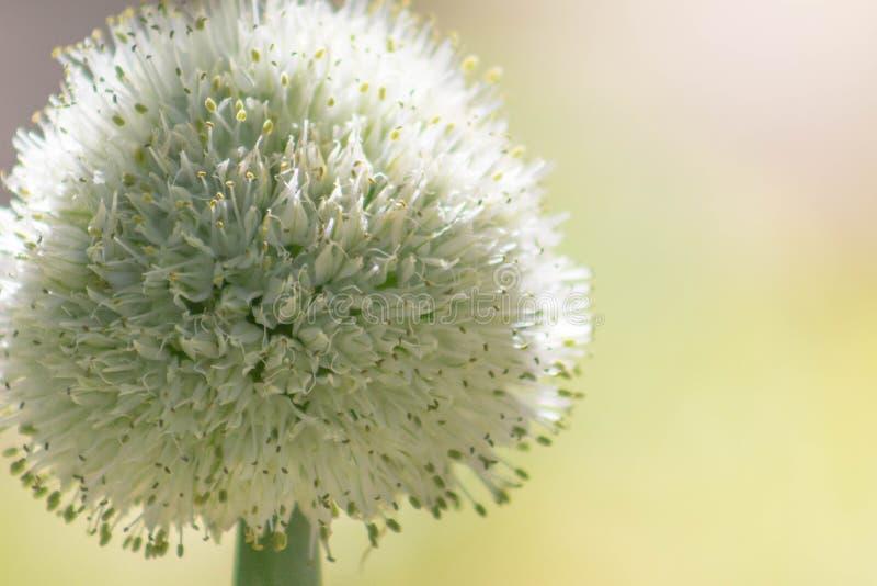 Garten-Zwiebel mit hellem Hintergrund stockbilder