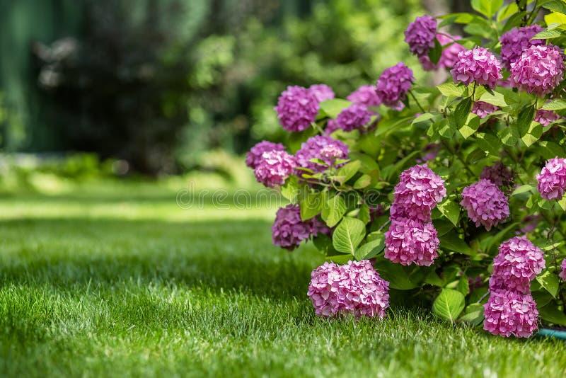 Gartenarbeit, Blumengarten, blühende Hortensie im Garten lizenzfreie stockfotos