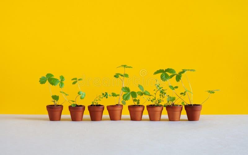 Gartenarbeit, Hintergrund züchtend 8 Blumentöpfe mit jungen Sprösslingszweigen der Walderdbeere und des Thymians Gartenpflanzen m stockfotos