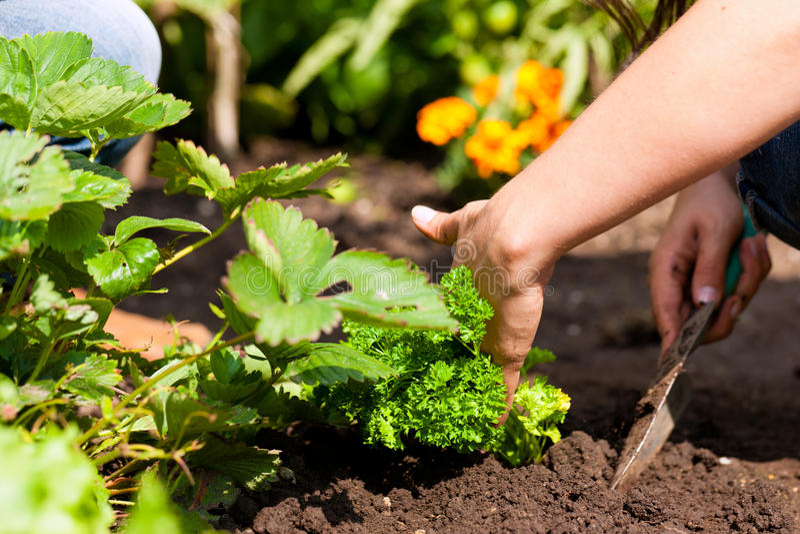 Gartenarbeit am Sommer - Frau, die Erdbeeren pflanzt stockfotos