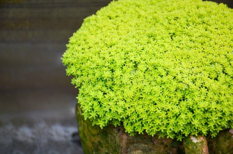 Gartenarbeitblumenmuster, Abschluss oben des gr?nen Miniaturgartens im Tonwarenschlag, saftige Miniaturanlagen lizenzfreies stockbild