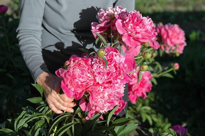 Gartenarbeitnahaufnahme der alten älteren Frau handam sonnigen Tag des Gartens lizenzfreie stockfotos