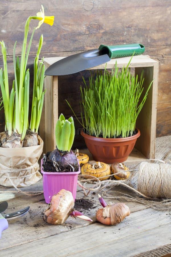 Gartenarbeitwerkzeuge, Grüns in den Töpfen, Gladiole der Knollen (Birnen), Hyazinthe und gelbe Narzisse auf dunklem Holztisch lizenzfreie stockbilder