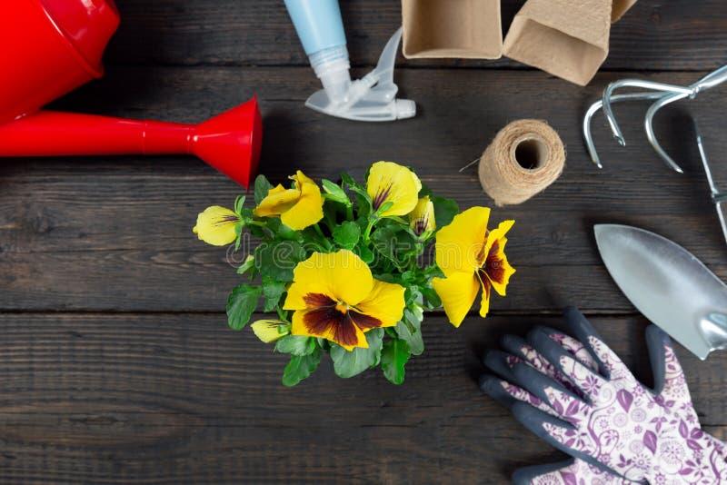 Gartenarbeitwerkzeuge und Stiefmütterchenanlage auf dunklem hölzernem Hintergrund Pflanzen der Frühlingsstiefmütterchenblume im G lizenzfreies stockfoto