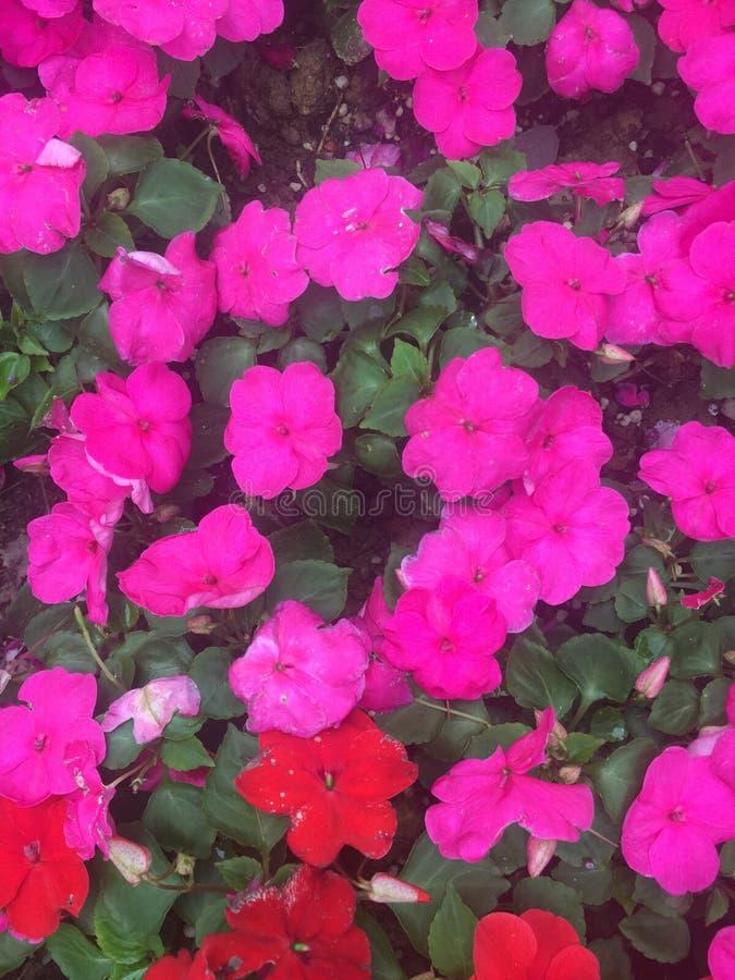 Gartenbalsam-c$impatiens balsamina L lizenzfreies stockfoto
