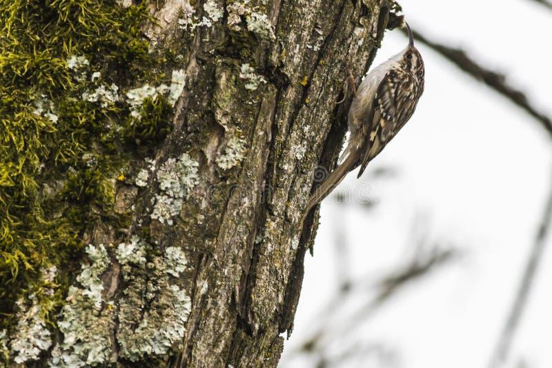 Gartenbaumläufer Certhia brachydactyla stockfotografie