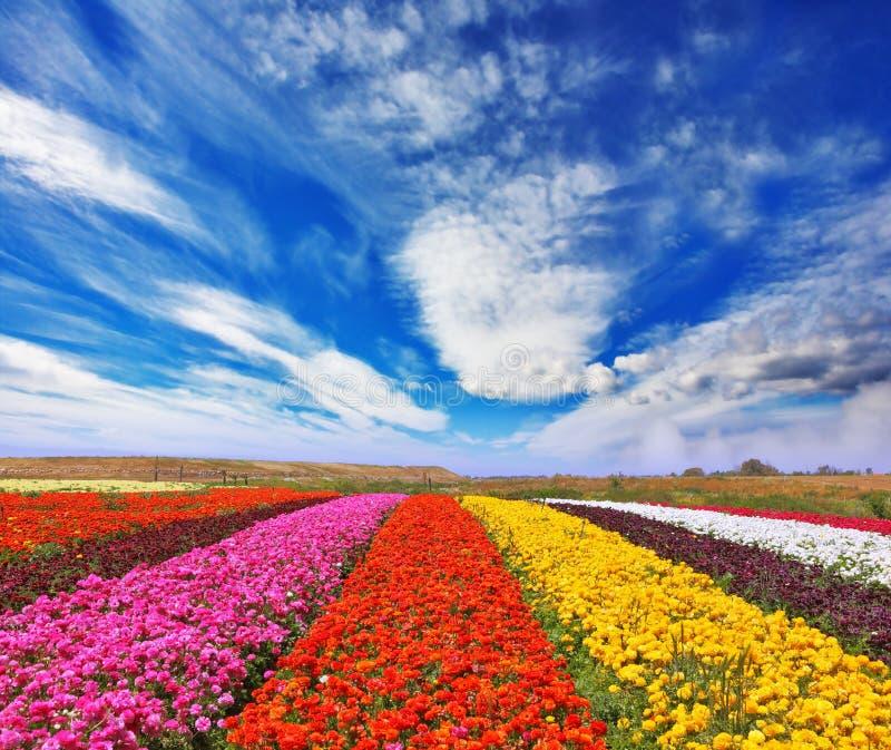 Gartenbutterblumeen /ranunculus/ stockbild