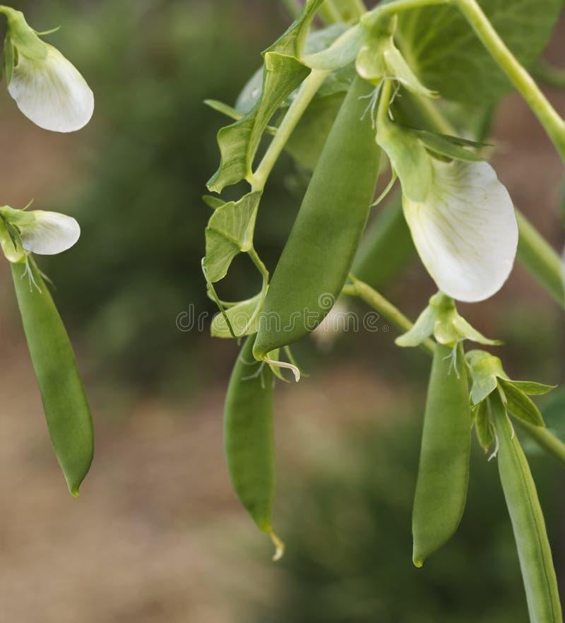 Gartenerbsehülsen des Frühlinges frische - organisches Gemüse stockfoto