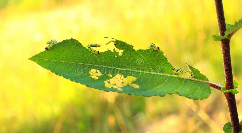 Gartengleiskettenfahrzeuginsekt verursacht Schaden Wurmplage, die Blätter im Fruchtbauernhofobstgarten isst lizenzfreie stockfotografie