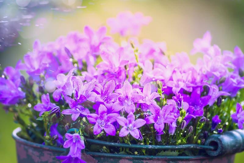 Gartenglockenblumen auf unscharfem Naturhintergrund stockfotos