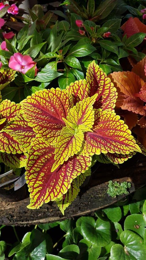Gartengold stockbild